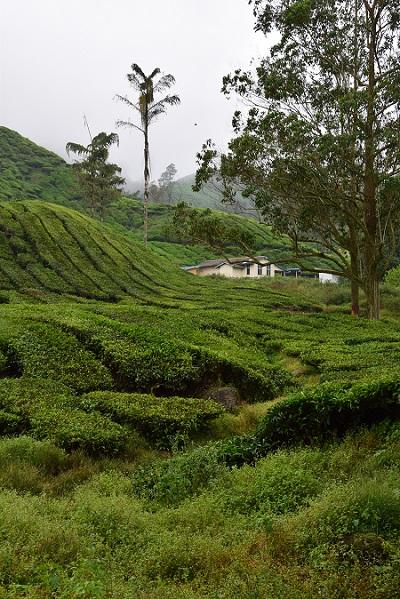 boh_tea_estate_malaisie