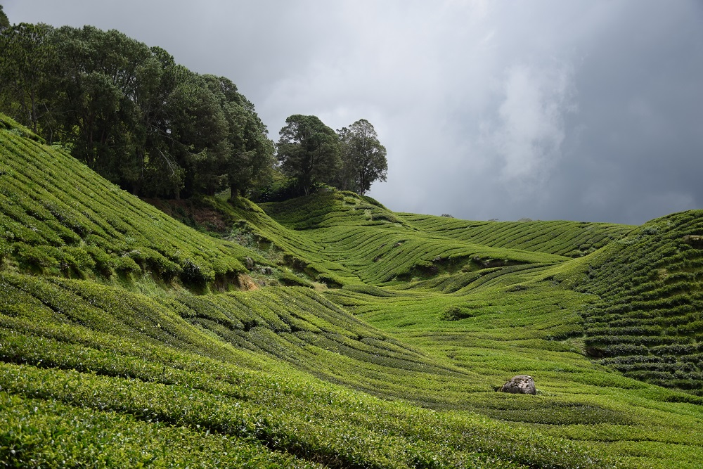 boh_tea_plantation_malaisie
