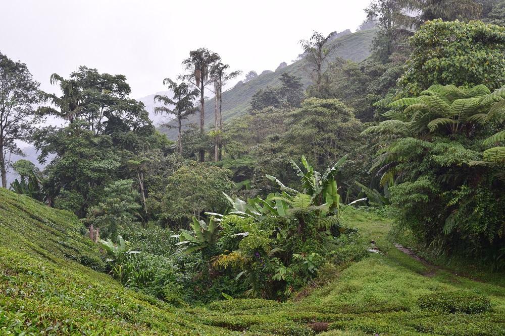 jungle_theier_boh_tea_estate