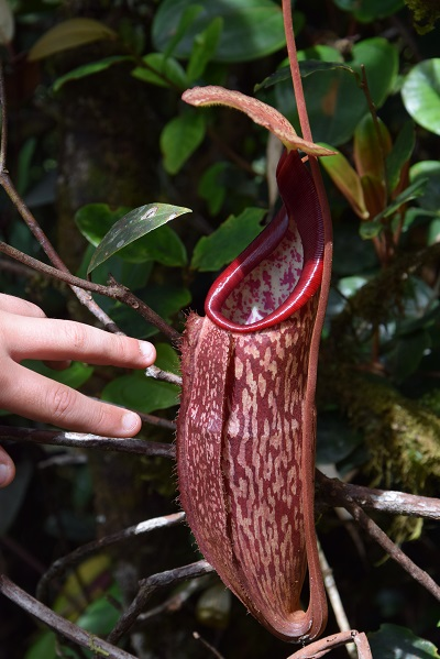 nepenthes_mossy_forest