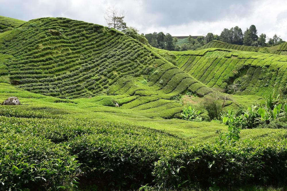 plantation_the_boh_tea_malaisie