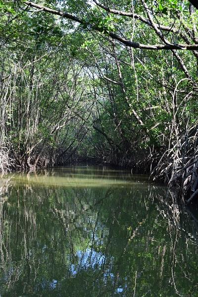 mangrove-cherating