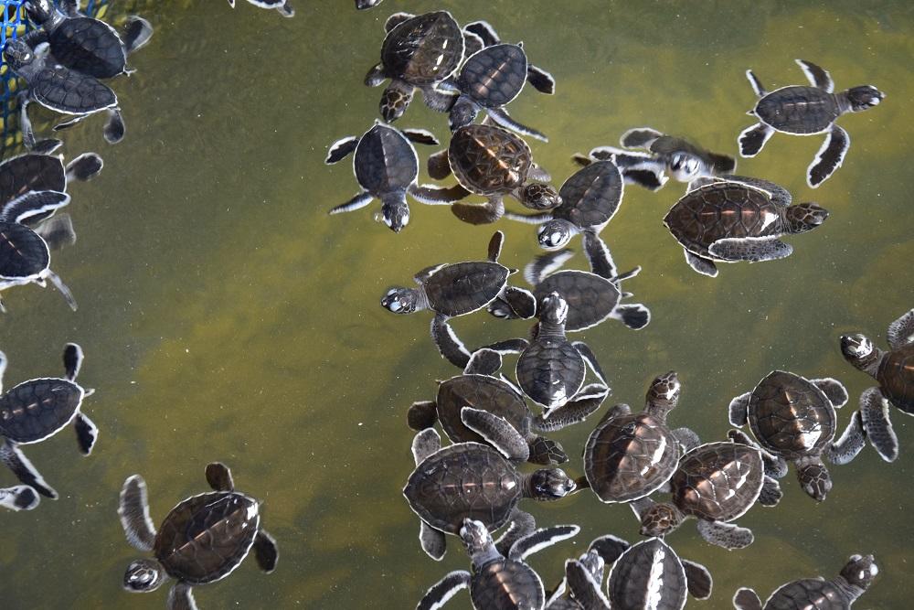nurserie-tortue-cherating
