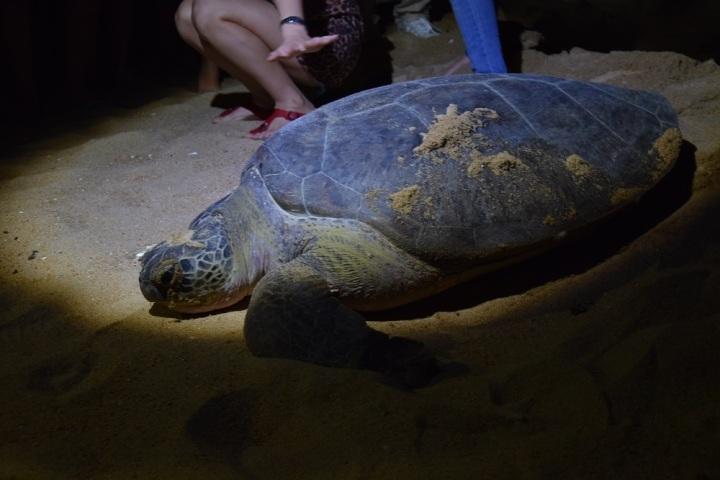 Cherating: ses tortues, ses lucioles et sa mangrove