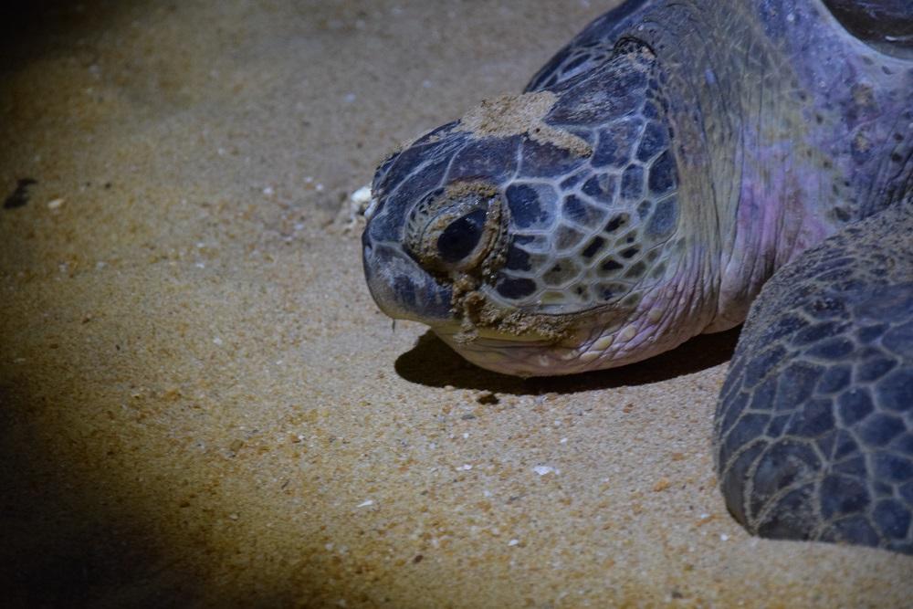 tortue-plage-cherating