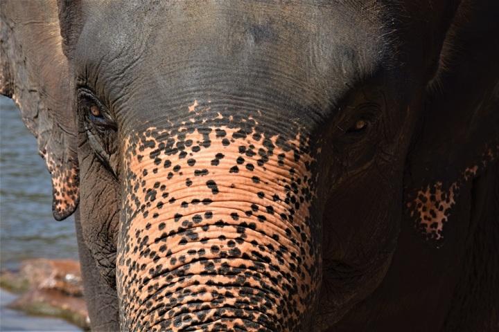 Les éléphants du SriLanka
