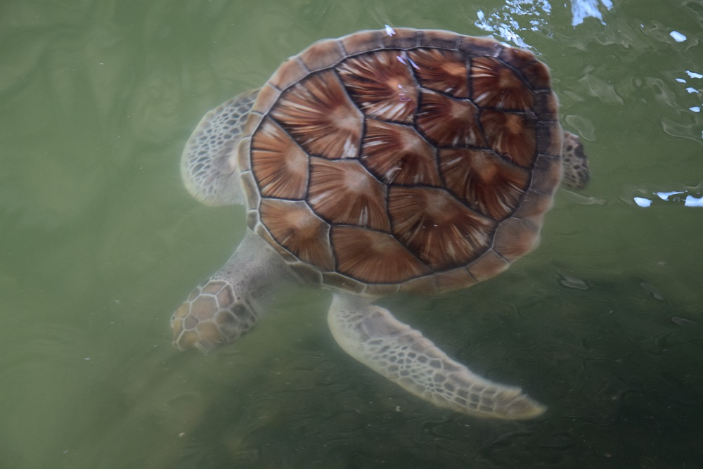 tortue-blessee-sanctuaire-cherating