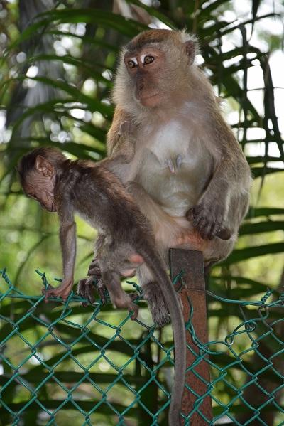 singes-kuala-lumpur